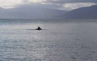 Fungie - der Delfin