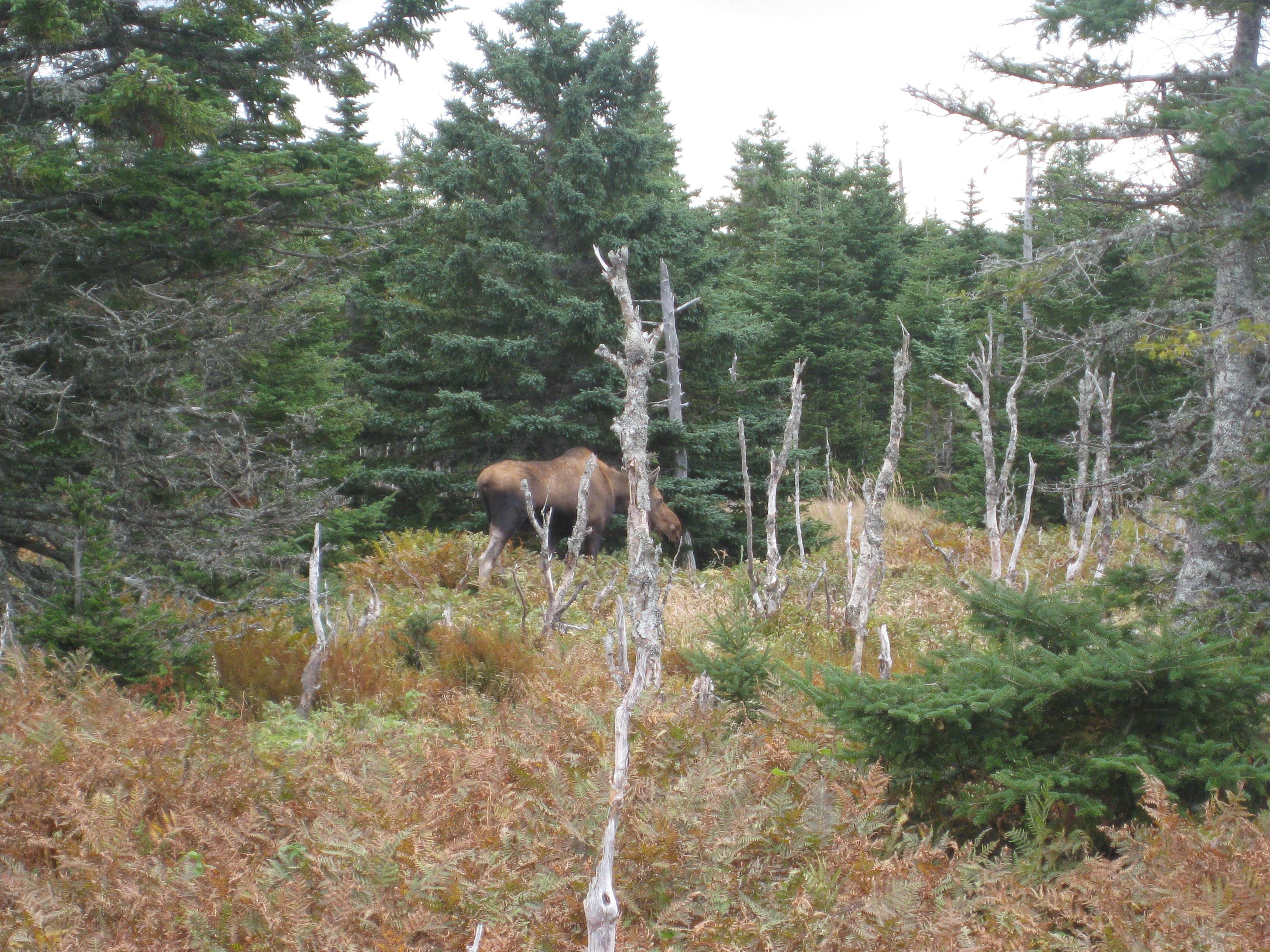 Elch Nova Scotia 2008