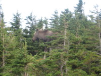 Elch auf dem Skyline Trail Cape Breton Island 2008
