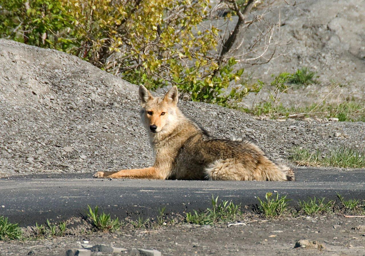 Kojotenangriffe in Kanada